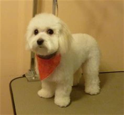 shih tzu bichon haircuts 1000 images about bichon frise on bichon frise haircuts and poodles