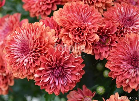 coral colored l quot coral colored mums macro quot stock photo and royalty free