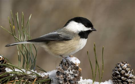 wallpaper black capped chickadee chickadee bird snow