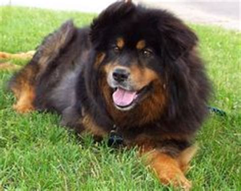rottweiler chow chow mix lab chow chow mix dying inspire chow chow chow chow mix and labs