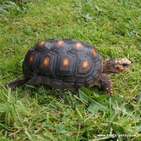 foot tortoise geochelone carbonaria