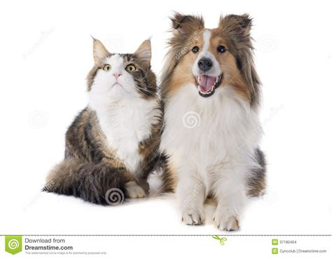 cat and puppy shetland and maine coon cat stock photo image 37180464