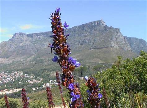 garten wappenblume wildstauden in garten und natur kapstadt s 252 dafrika