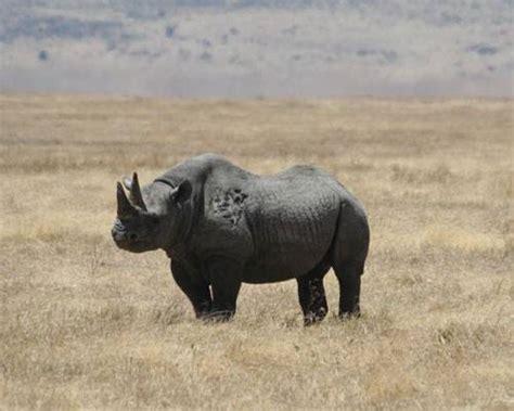 igbo names for animals west africa animal west black rhino facts habitat last sightings