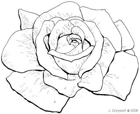 rose flower drawing pictures pencil drawing collection