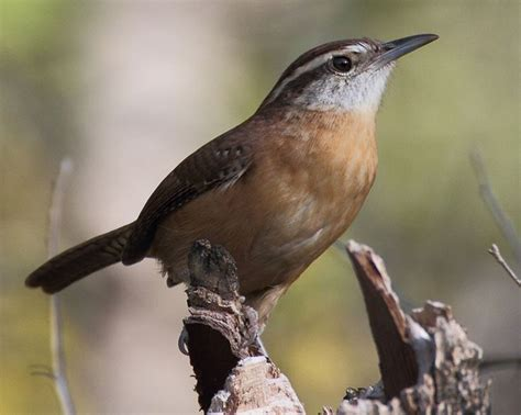 carolina wren 12 29 15 my backyard birds pinterest wren