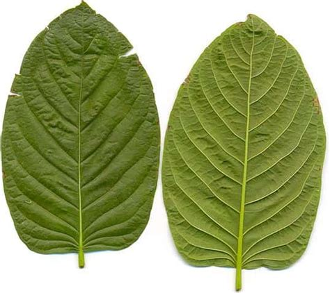 Kratom Detox Help by What Are The Risks Of Kratom Addiction