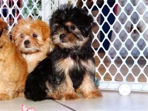 shih tzu for sale virginia shih tzu puppies for sale in hton virginia west va norfolk breeds picture