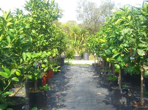pianta limone in vaso cura coltivazione agrumi in vaso