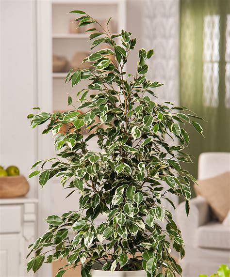 buy house plants buy house plants now weeping fig twilight bakker com