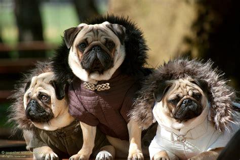 valentinos pugs pin filhotinhos de pug e york porte pequeno mae roupinha rosa dos pugs on