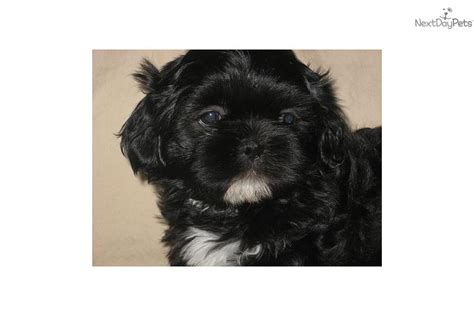 shih tzu puppies for sale in bellingham wa puppies for sale from the rainbow shih tzu nextdaypets