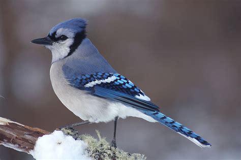 blue jay birdingnewbrunswick
