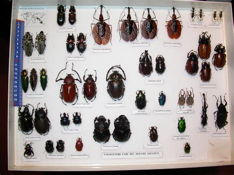 cassetta entomologica forum entomologi italiani view topic mostra quot insecta