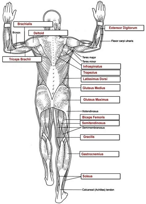 diagram and label human anatomy diagrams to label baldaivirtuves info