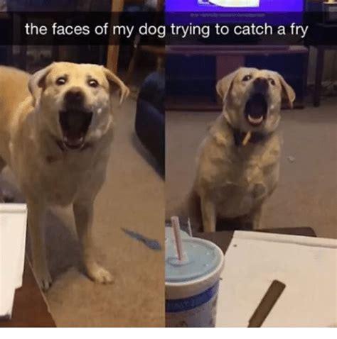 faces   dog   catch  fry dogs meme  meme