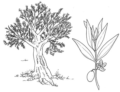 olive tree coloring page www pixshark com images