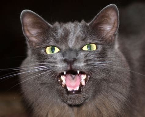 scary cat scary cat pictures www pixshark images galleries
