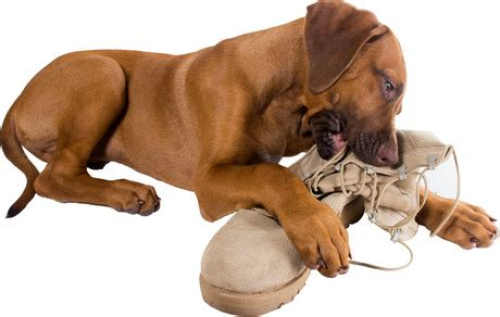 how to stop puppy from chewing everything how to stop dogs from destructive chewing dogtime