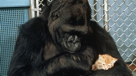 koko the gorilla whose sign language abilities changed
