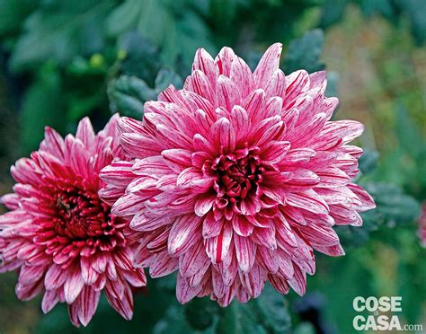 crisantemo fiore i fiori autunnali scelti per voi cose di casa