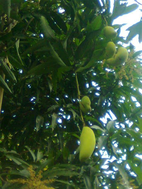 budidaya mangga dari batang cangkokan agar cepat berbuah lebat dan menguntungkan bagi petani