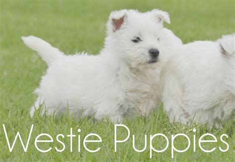 west highland white terrier puppies for sale west highland white terrier puppies for sale chevromist kennels