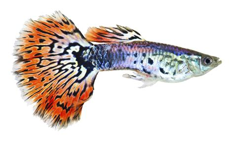 guppies colors outstandingly amazing facts about guppy fish