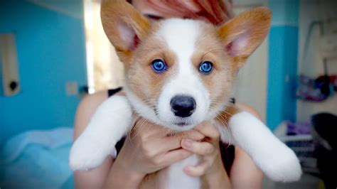 where to buy corgi puppies i got a corgi puppy
