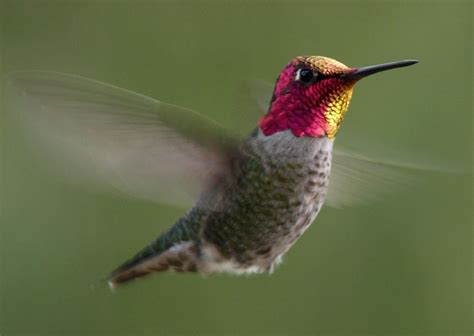hummingbirds wallpapers anna s hummingbird wallpaper view