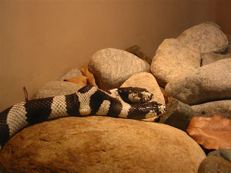 two headed top 15 myths about snakes
