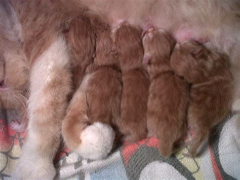 Formula Bayi Kucing Memelihara Kucing Proses Perkawinan Kucing Sai Dengan