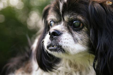 nuclear sclerosis in dogs nuclear sclerosis a canine eye condition pets4homes
