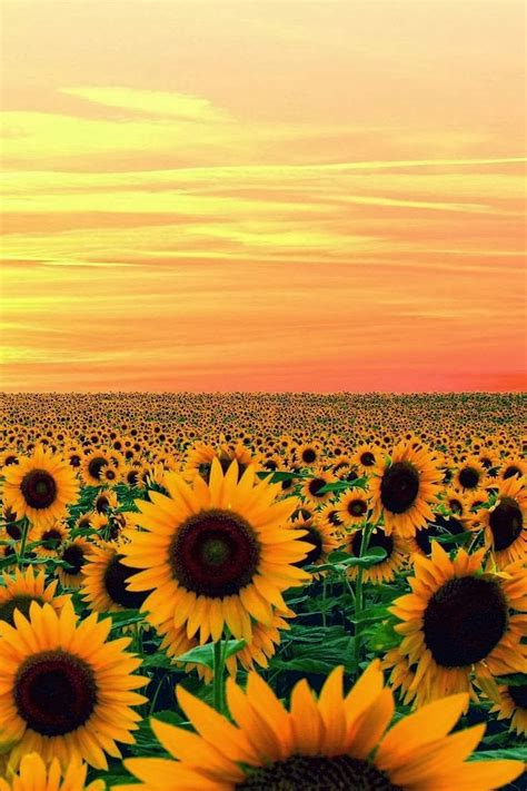 sunflower fields graphic design studio apparel boutique by bathousedesign