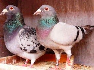 Alas Kandang Merpati cara ternak burung merpati pos budidaya sukses budidaya