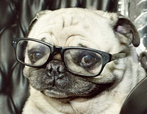 how to look after a pug 17 best images about pug on pug puppys and pug
