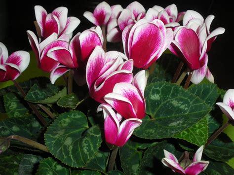 fiori di inverno fiori di ciclamino da balcone invernale