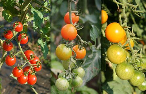 heat tolerant crops black goldhot summer vegetables that beat the heat black