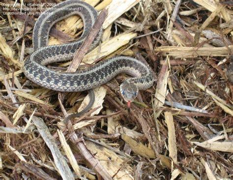 Garden Snake Identification Wildlife Snake Id Peninsula Michigan 1 By Ottahand7