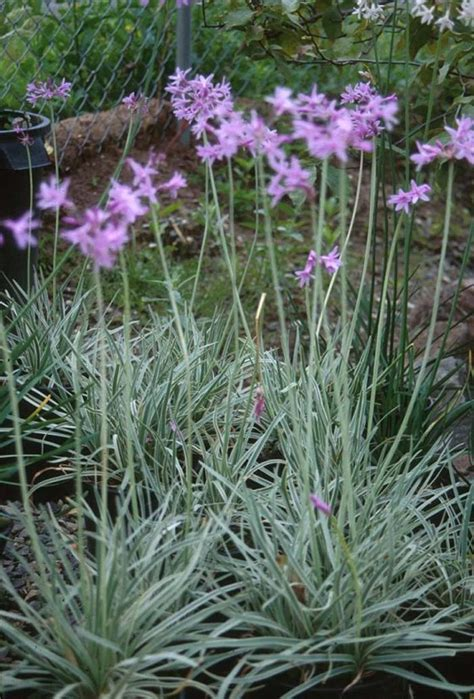 Justina Blakeney by Tulbaghia Violacea Silver Lace Plants For Sunny