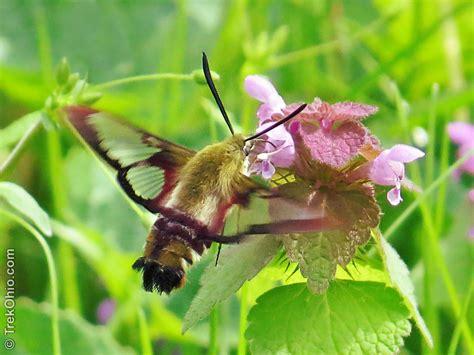 Humming Bird hummingbird moth