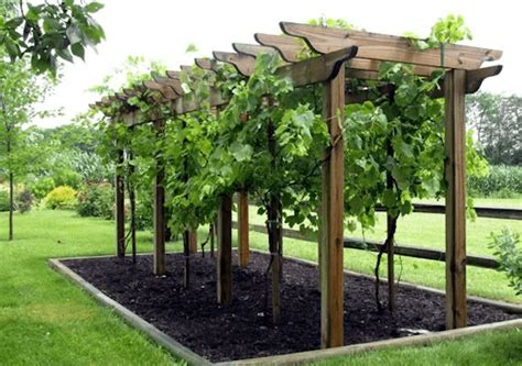 growing grapes on trellis how to make wine in your backyard winemaking beginners