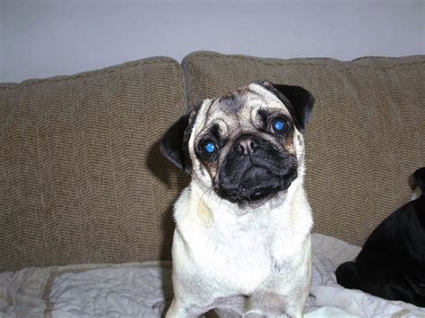4 year pug 1 year pug swindon wiltshire pets4homes