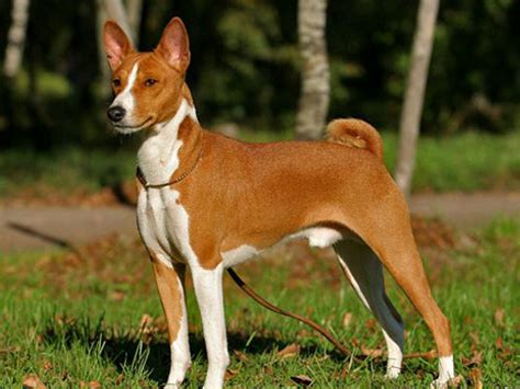 how often to let a puppy out at basenji
