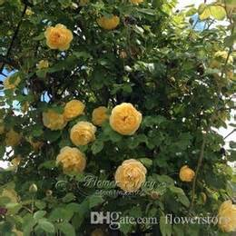 100 seeds climbing rose seeds plants spend climbing roses discount plant climbing roses 2017 plant climbing roses
