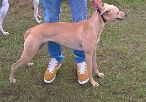 rottweiler x lurcher 28 ling dogs for sale time ling lurchers ru rottweiler x lurcher