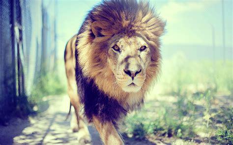 imagenes de leones full hd le 243 n en el zoo fondos de pantalla le 243 n en el zoo fotos