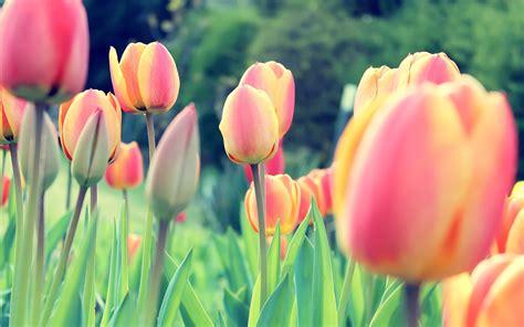 Imagenes Para Fondo De Pantalla De Tulipanes | tulipanes fondo de pantalla 2560x1600 id 434
