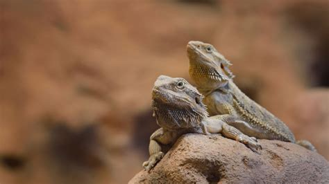 bearded color change bearded dragons can change the color of specific