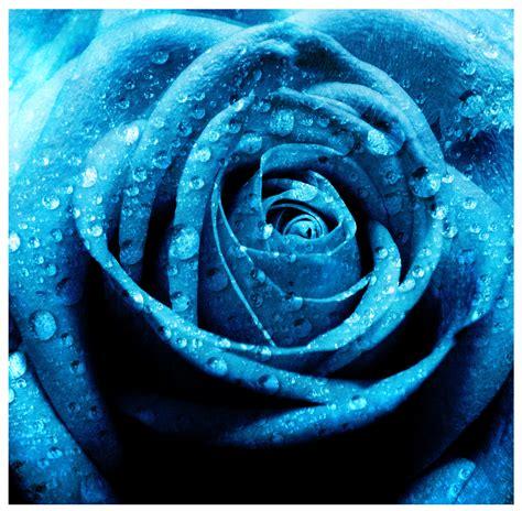 wallpaper flower rose blue hd wallpaper of blue rose hd wallpapers